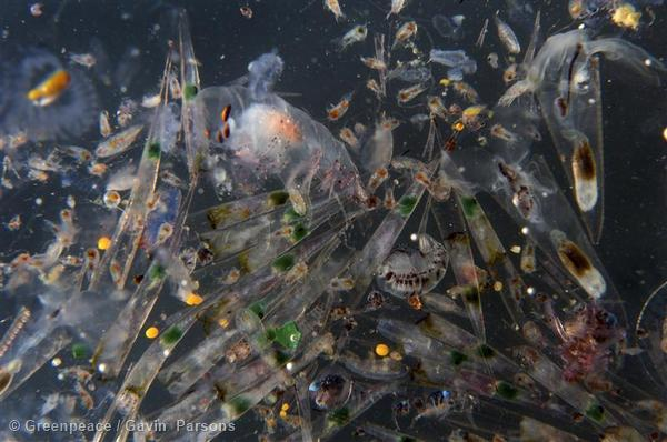 Plankton sample collected in Libyan waters by the Greenpeace ship Arctic Sunrise.