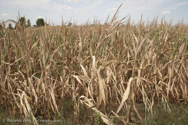 Corn withers in a field in Troy Mills, Iowa, when the Midwestern United States crop belt suffered record high temperatures and the worst drought in a generation in 2012.