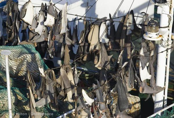 Shark fin dry on deck of the Japanese longliner Matsuei Maru no 11, South West Indian Ocean.