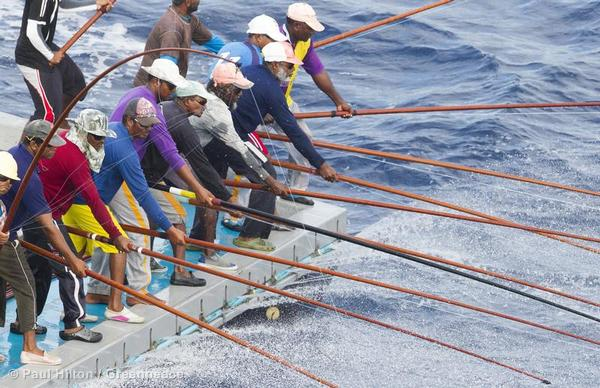 Pole and line fishermen land skip jack tuna in the Maldives. Pole and line fishing is a selective, sustainable and equitable method of catching tuna.