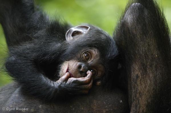 Chimpanzee in Nigeria
