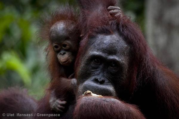 Orangutan Feeding Platform near Tanjung Puting National Park