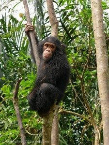Chimpanzee hanging in a tree, Mefou, National Park, Cameroon.