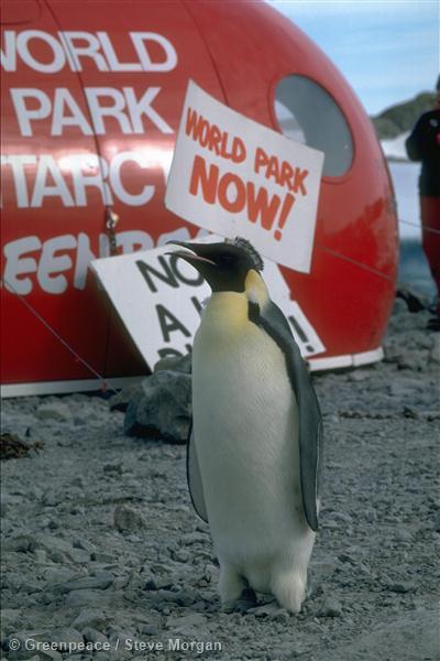 Emperor penguin joins a Greenpeace protest at Dumont D'Urville airstrip blockade.