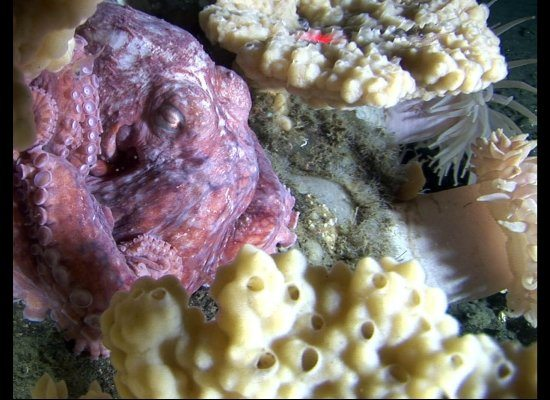 A giant Pacific octopus sleeps among coral in Pribilof Canyon.