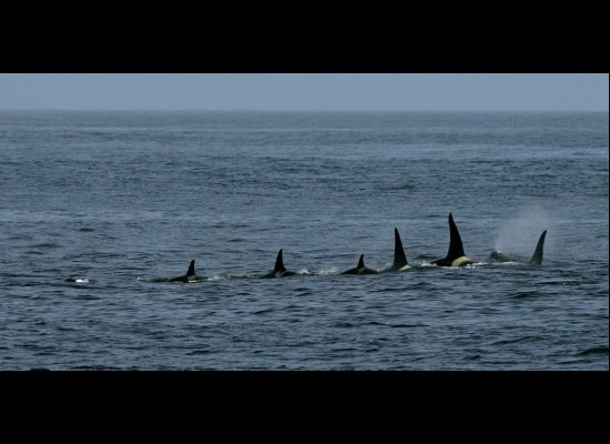 Orcas near Pribilof Canyon.