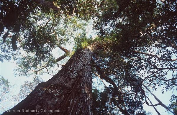 View of a mahogany tree from below, in Chico Mendes's province of Acre.