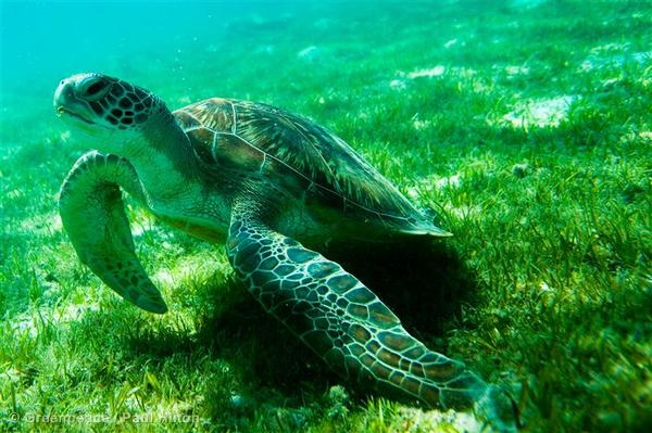 A green turtle feeds on sea grass in the Maldives.