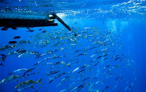Schools of fish circle a fish aggregation device (FAD) floating and continuously attracting fish during a banned FAD fishing season in the Western and Central Pacific ocean in 2009.