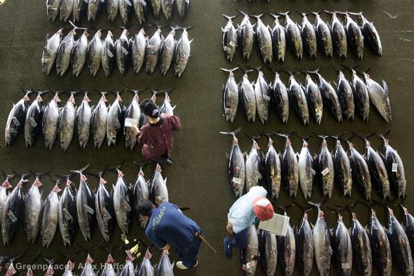 Critically endangered bluefin tuna is seen being traded on the dock at the port of Kesen-numa City, Miyagi Prefecture, North East Japan.