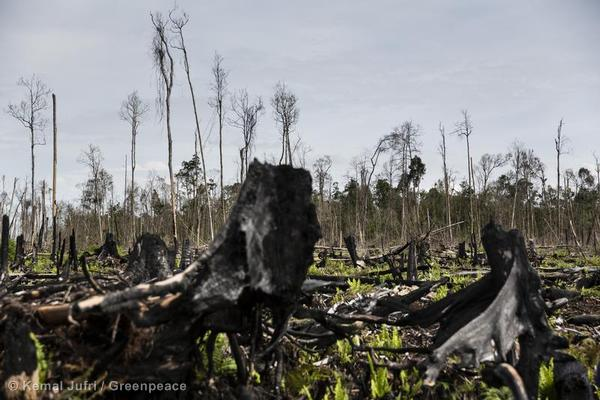 This fire was on mapped peatland and tiger habitat and within an area that is covered by the Indonesian government's moratorium on the issuance of new permits in primary forests and peatland.