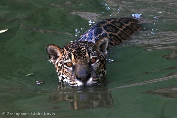 A Jaguar swimming near Manaus, the capital of the state of Amazonas.
