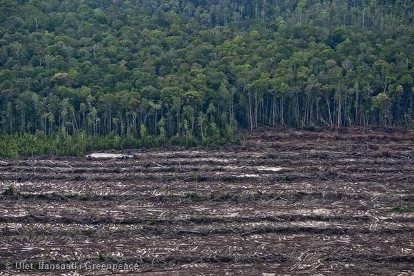 Rainforest ends at rows of cut trees from the recent clearance of orangutan habitat inside the PT Wana Catur Jaya Utama palm oil concession.