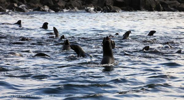 Young male Northern Fur Seals (Callorhinus Ursinus) frolic in the waters off the island of St. George in the Bering Sea, Alaska.