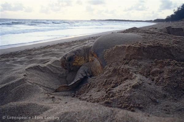 Loggerhead turtle, with its iconic head, laying eggs at Mon Repos beach, Queensland, Australia.