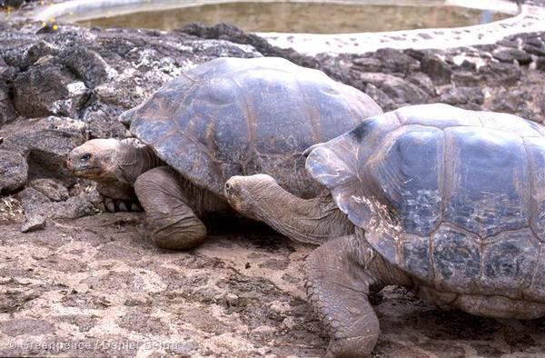 Giant Tortoises on Galapagos Islands.