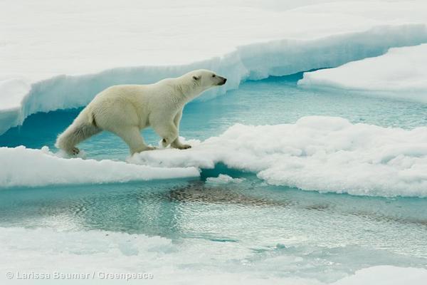 Polar Bear on Sea Ice Eisbaer wandert ueber Eisschollen
