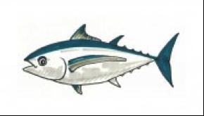 albacorepic