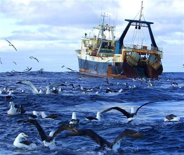 Several species of albatross feeding on orange roughy heads and bycatch behind the Belize-registered deep sea trawler 'Chang Xing' in international waters in the Tasman Sea.