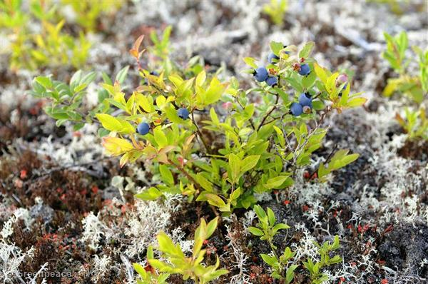 These blueberries in Quebec's Broadback Forest must have been visited by wild pollinators.