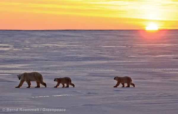 Polar BearsEisbaeren