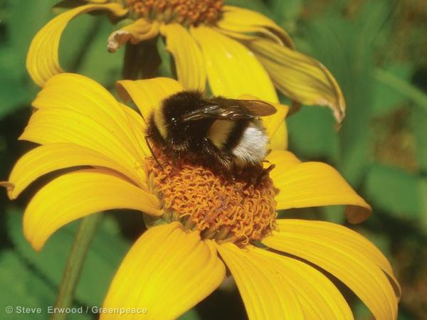Important fact unrelated to the beepocalypse: bees are fuzzy.