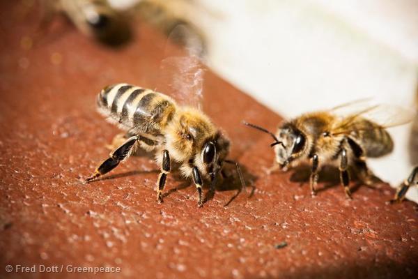 Honeybees in Germany Honigbienen