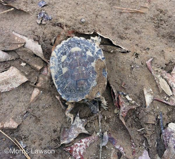 A dead turtle lays on the banks of the Dan River near the water treatment plant in Danville, Virginia on February 11, 2014.