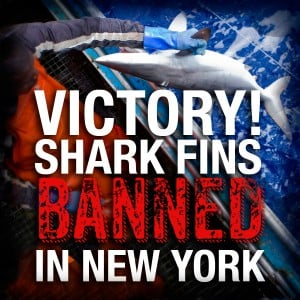 Shark fins are banned in NY!