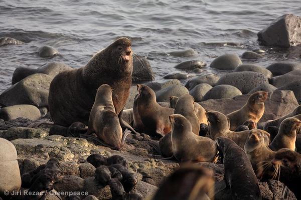 Northern Fur Seals on St. Paul Island