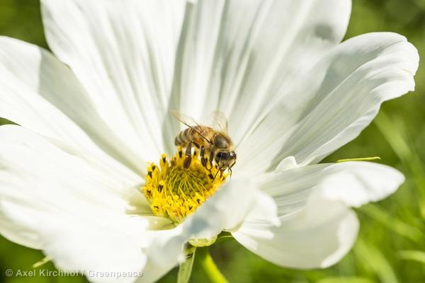 Bee on Cosmos Flower in Germany Biene auf Kosmeenbluete