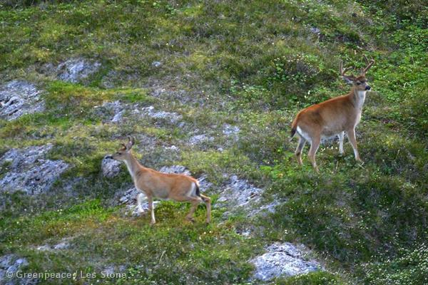 Deer on a mountain in the Tongass National Forest near Angoon.