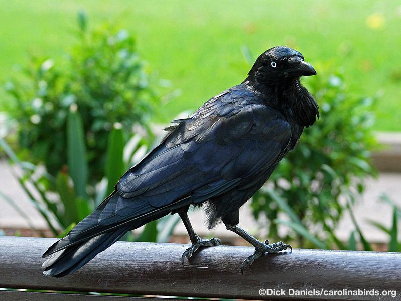 Australian_Raven