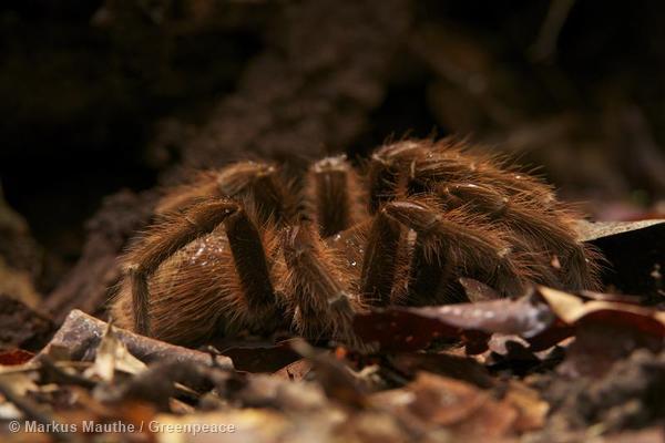 Bird Spider in Amazon Rainforest Vogelspinne im Amazonas Regenwald