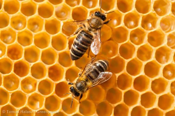 Bees and GMOs