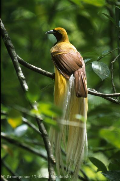 Lesser bird of paradise. Irian Jaya. Indonesia