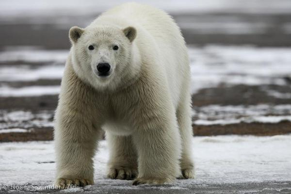 Stranded Polar Bear in Alaska