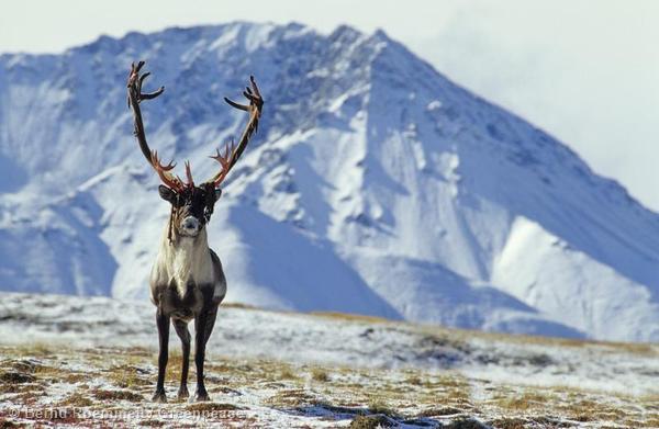 Caribou in AlaskaAlaska-Karibu