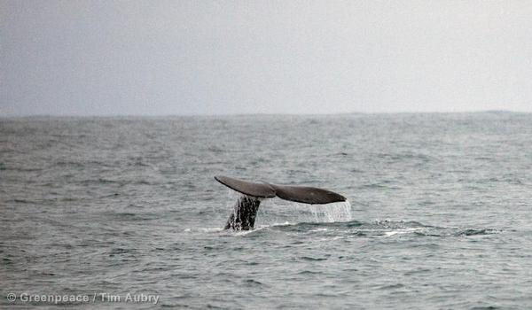 Whales Surface Near Shell Kulluk Incident