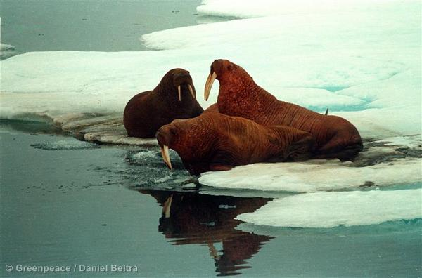 Walrus on ice. Barrow area, Alaska