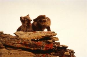 Arctic Fox and Bird Documentation (Norway : 1993)