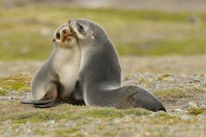 Fur Seals on South GeorgiaFellrobben