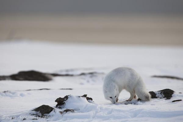Arctic Fox in Alaska
