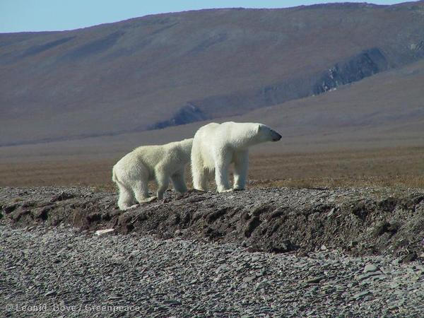 Polar Bears on Wrangel Island, Russia.