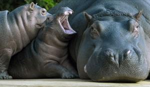 rhino mom
