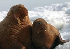 walrus mom