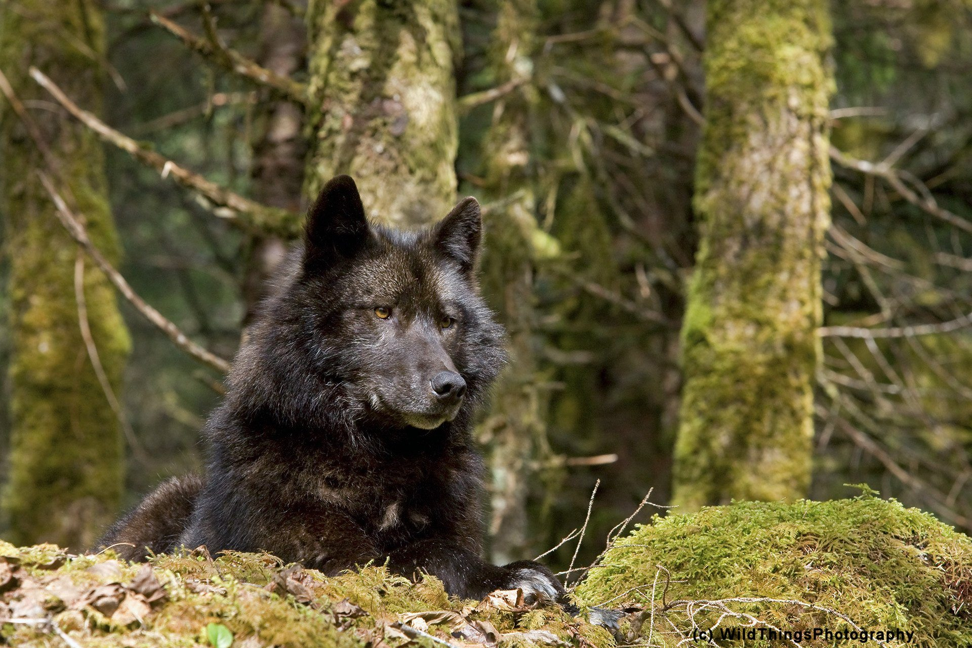 Канадский волк фото