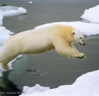 Polar bear jumping on iceflow, Herald Island, Chukchi Sea.