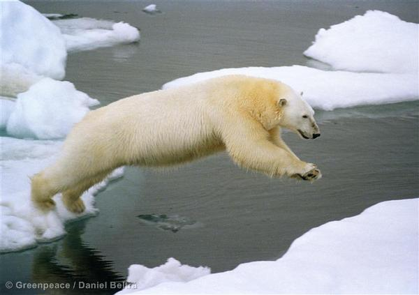 Polar bear jumping on iceflow, Herald Island, Chukchi Sea.