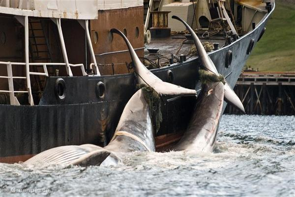 Documentation on Whaling in Iceland